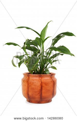 Houseplant Spathiphyllum Chopin In Brown Clay Flowerpot, Isolated