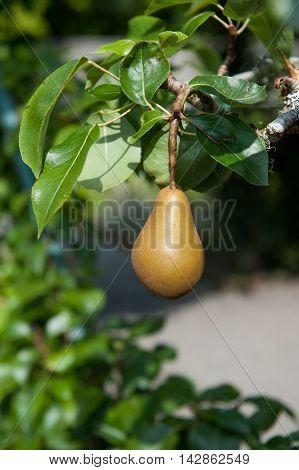 tasty fresh pears growing in the garden