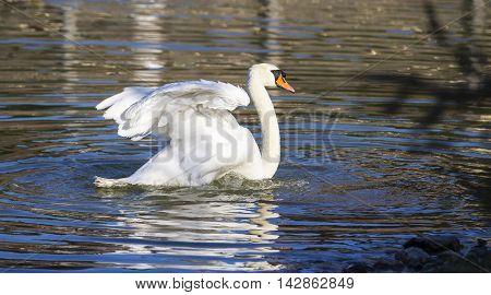 CAGLIARI - Walk in the Park of Monte Claro, white swan swimming in the pond - Sardinia