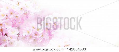 Panorama with beautiful pink flower cherry blossom, sakura
