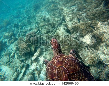 Green sea turtle close to sea bottom and corals. Lovely sea turtle closeup. Green turtle swimming in the sea. Snorkeling with turtle. Philippines snorkeling spot - Apo island. Tropical sea life
