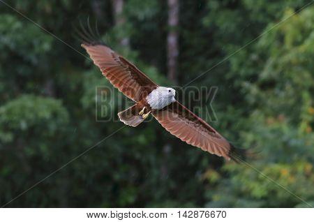 Brahminy Kite Red backed sea eagle Haliastur indus Flying in the rain