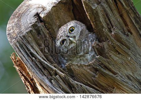 Spotted owlet Athene brama Bird in tree hollow