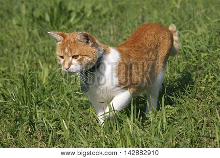 Domestic cat is hunting mice in the field