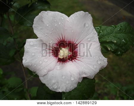 Hibiscus syriacus pale pink with deep red center rose of Sharon 'Red Heart' one flower on a rainy day. poster