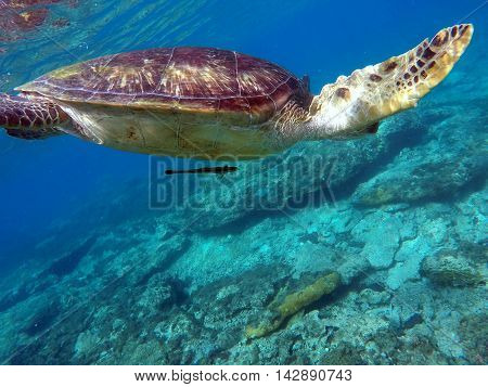 Green sea turtle above the coral reef and sea bottom. Sea turtle with suckerfish. Green turtle swimming in the sea. Exotic animal underwater. Blue lagoon wild life. Philippines snorkeling spot - Apo