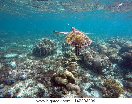 Green sea turtle above the coral reef and sea bottom. Swimming sea turtle closeup. Green turtle swimming in the sea. Exotic animal underwater. Blue lagoon wild life. Philippines snorkeling spot - Apo