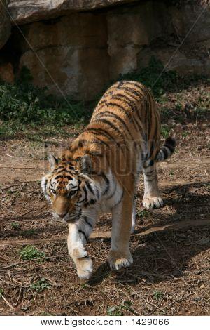 Amur Tiger (Panthera Tigris Altaica) walking towards camera. poster
