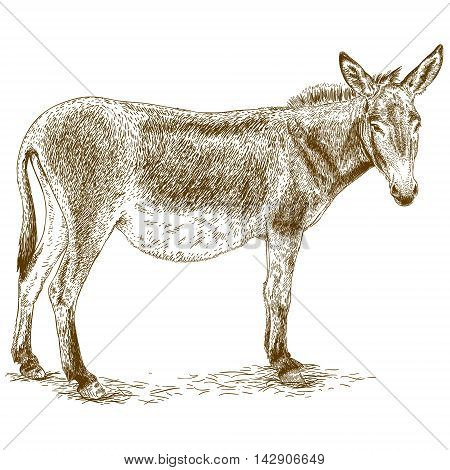 Vector antique engraving illustration of donkey isolated on white background
