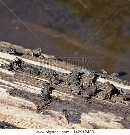 A large group of newly formed frogs all try for a space on a log in a high mountain lake in the Cascade Lakes of Oregon.
