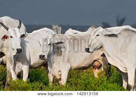 Cattle cow nelore in bolivia subtropical prairie