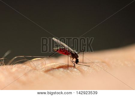Anopheles Plumbeus or Anopheles Claviger mosquito feeding on human arm