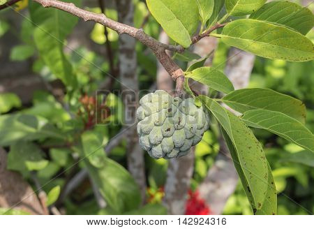 Custard apple. Custard apple raw agriculture on trees.