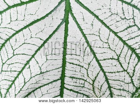 Close up view Caladium of White leaf and green Pattern of growing leaf surface : Caladium bicolor Vent . ARACEAE Fancy Leaved Caladium : may be used as background :