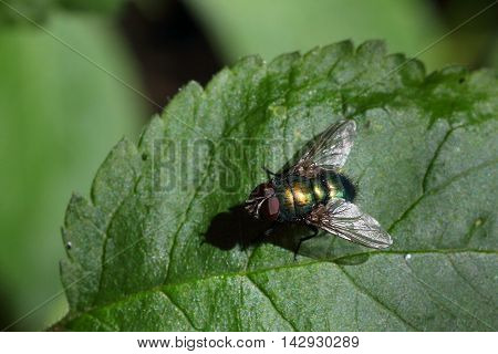 Common green bottle fly resting on a leaf