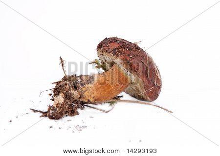 Xerocomus Badius Mushroom  lying on the table