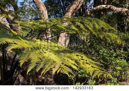 silver fern growing in rainforest in New Zealand