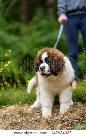 Saint Bernard puppy on a leash outdoors, with a person holding the leash