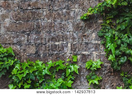 Green ivy climbing on the old house brick wall