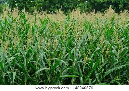Rows And Rows Of Fresh Unpicked Corn.