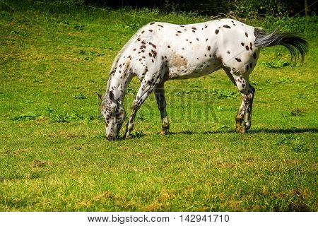 spotted white brown appaloosa horse grazes on the green pasture copy space
