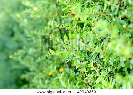 Closeup of green branches hedge. Green hedge plant background.