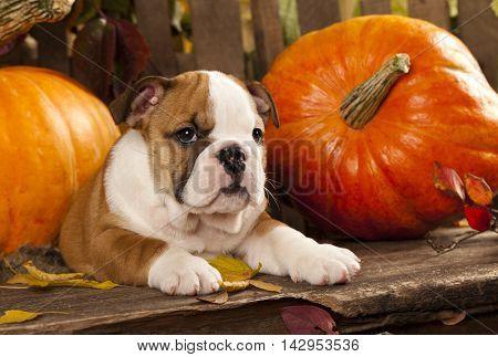 Puppy English Bulldog and pumpkin
