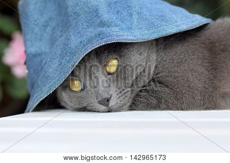 gray cat in a denim hat to spend time resting on the table / vacationer Cat in the Hat