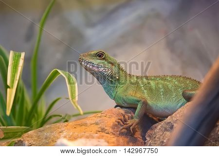Green asian water dragon in the wild