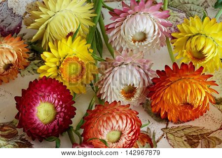 Freshly Cut Strawflowers with Different Forms and Colours