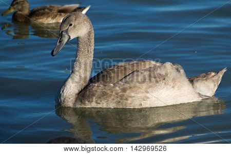 Young Swan On Lake Balaton