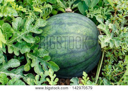 melon field with ripe watermelon. Watermelon in vegetable garden. Watermelon. Watermelon farm