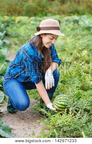 girl farmer picking watermelon in the garden. Gardener woman with fresh organic watermelon in the garden. Harvest. Woman in field harvesting watermelons. Happy girl holding watermelon in hand