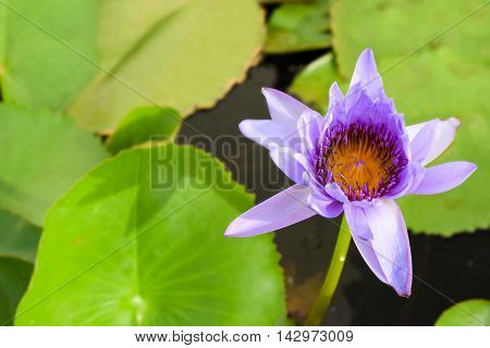 Single blue water lily (nymphaeaceae) with green lily pad background.  Blue water lilies are the birth flower of July and the national flower of Sri Lanka.