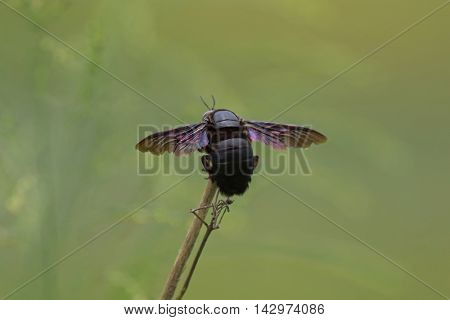 Closeup backside of violet carpenter bee (Xylocopa violacea) on wooden branch with blurred background, Thailand
