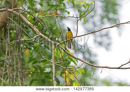 Black-crested bulbul bird in black and yellow perching on tree branch in the garden during summer in Thailand, Asia. (Pycnonotus flaviventris)