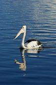 Pelican(Pelecanus conspicillatus)reflecting in water on north coast of NSW Australia poster