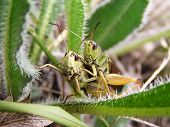 Two green grasshoppers in the green grass poster