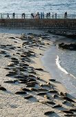 Dozens of harbor seals sleeping on Seal Beach in La Jolla poster