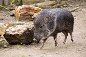 Chacoan peccary (Catagonus wagneri) also known as the tagua. It can be found in the Gran Chaco of Paraguay Bolivia and Argentina poster