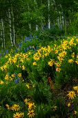 Wildflowers come alive along Kebler Pass outside of Crested Butte Colorado poster