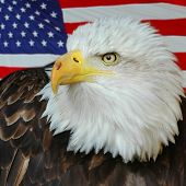 A beautiful Bald Eagle set majestically against the US Flag. poster