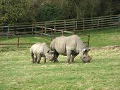 An adult and young Rhino in a field poster
