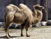 the two hump camel is from asia the humps are filled with fat not water! Inhabit rocky deserts and are very hardy. poster