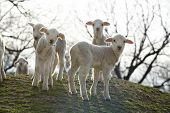 group of lambs on a field in spring poster