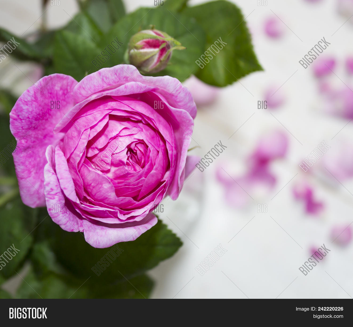 Beautiful rose flower image photo free trial bigstock beautiful rose flower in garden rose flower background roses flower texture lovely rose izmirmasajfo