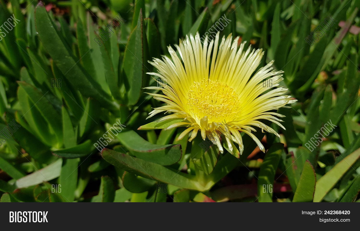 Ice Plant Yellow Image Photo Free Trial Bigstock