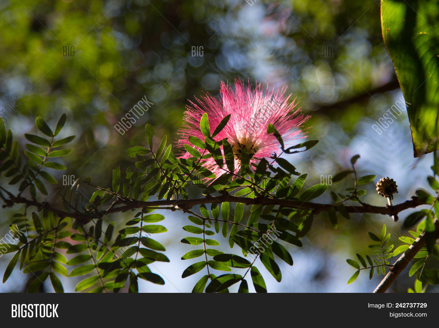 Image Cute Fluffy Pink Image Photo Free Trial Bigstock