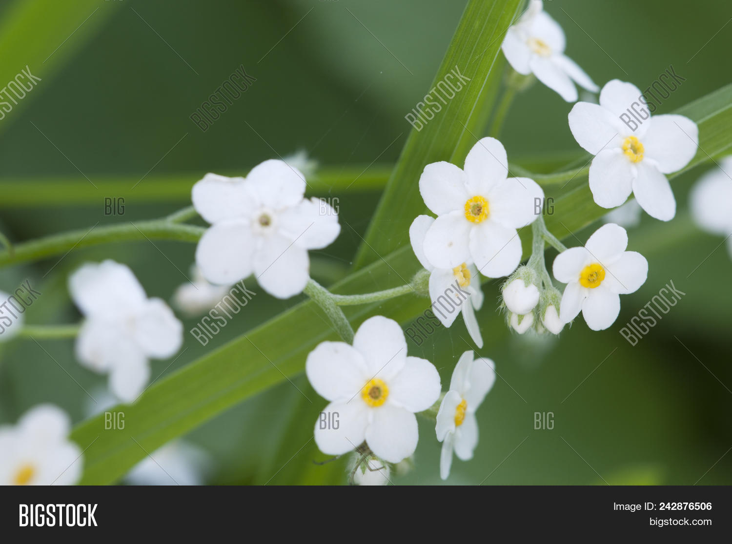 Forget Me Not White Image Photo Free Trial Bigstock