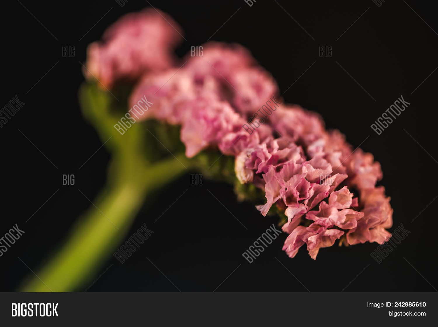 Close Pink Statice Image Photo Free Trial Bigstock